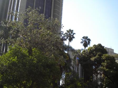 Grandes árvores no terreno da mansão Matarazzo esperando a chegada de mais um shopping, com mais carros, sombra, consumismo...