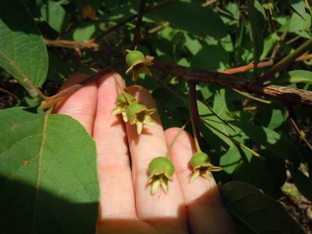frutos verdes da gabiroba.