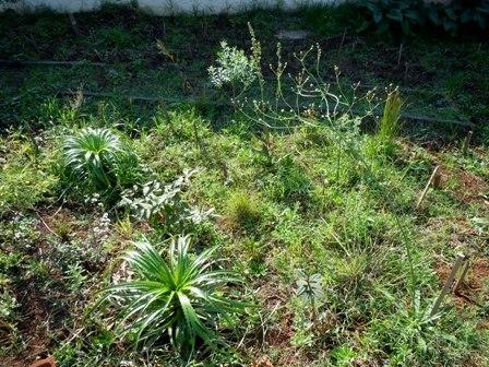 Aspecto da recomposição dos campos-cerrados em junho de 2012. No lado inferior esquerdo da foto, uma língua-de-tucano (Eryngium paniculatum).