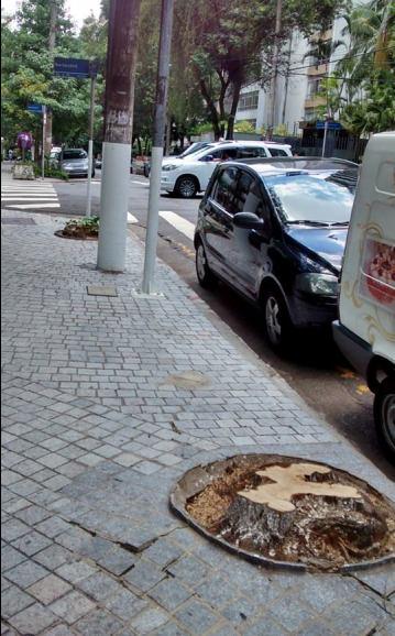 Alfeneiro recentemente cortado na Rua maranhão em Higienópolis. Pelas condições do lenho do toco, pode ter sido mais uma vítima da prevenção excessiva.