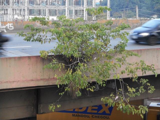 árvore pata de vaca Bauhinia - árvores de São Paulo - foto de Ricardo Cardim - direitos reservados