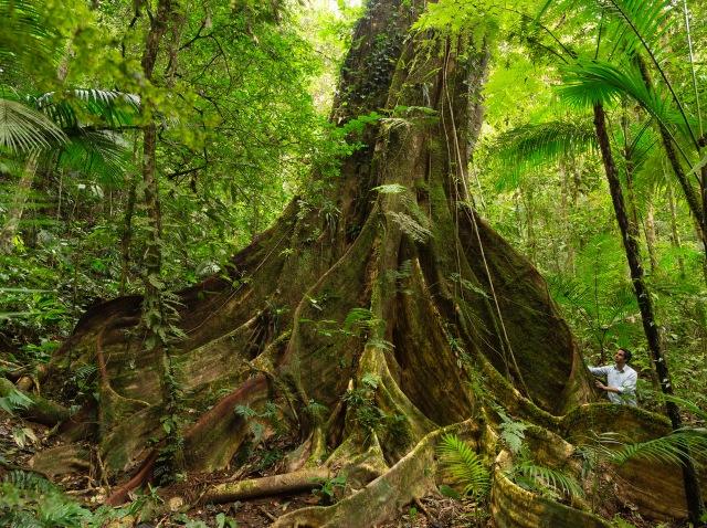 Figueira-gigante descoberta no Legado das Aguas. 2018